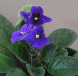 African Violet 2-3-05.jpg