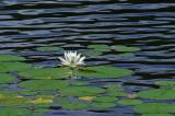 Messalonskee Sream  - Water Lily  7-18-10-ed-pf.jpg