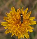 Hoverfly City Forest 8-30-17.jpg