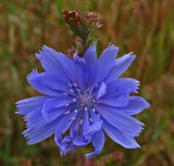 Chicory  City Forest 8-30-17.jpg