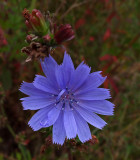Chicory  City Forest b 8-30-17.jpg