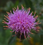 Thistle  City Forest 8-30-17.jpg