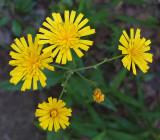 Wildflowers Harbor Brook 7-22-17 .jpg