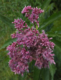 Wildflower Kenduskeag Stream 9-4-17.jpg