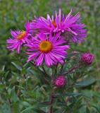 Wildflowers Kenduskeag Stream c  9-4-17.jpg