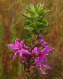 loosestrife City Forest  9-5-17.jpg