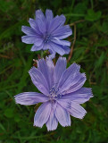 Chicory City Forest  9-5-17.jpg