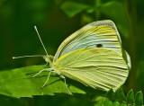 Cabbage White Butterfly Marsh Island d 7-2-12 ed.jpg