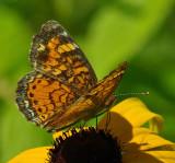 Butterfly  Marsh Island 7-11-12-ed.jpg