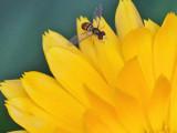 Hoverfly on Calendula - Garden  7-16-13-ed.jpg