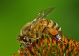 Bee - pollen sacks  b Garden  8-17-11.jpg