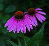 Echinacea  Garden b 8-20-17.jpg
