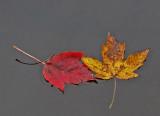 Leaves Mariaville Falls Trail 10-13-15.jpg