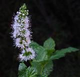 Mint Garden 9-21-17.jpg