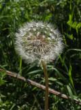 Dandelion  Caribou Bog 9-23-17.jpg