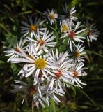Wildflowers  Caribou Bog 9-23-17.jpg