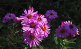 Wildflowers  Caribou Bog b 9-23-17.jpg