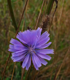 Chicory  City Forest 9-27-17.jpg