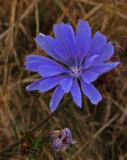 Chicory  City Forest b 9-27-17.jpg