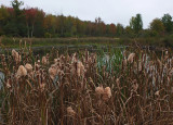 Cattails  City Forest 9-27-17.jpg