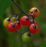 Berries - City Forest  9-11-14-ed .jpg