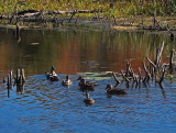 Ducks  Beaver Pond City Forest 10-3-17.jpg