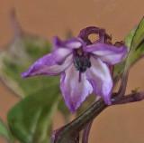 Lava Drop Flower 10-6-17.jpg