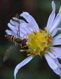 Hoverfly Caribou Bog 9-23-17.jpg