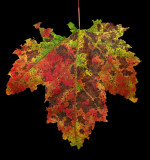 Leaf -  Sunkhaze 9-20-11-ed.jpg