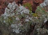 Lichen Caribou Bog 10-16-17.jpg