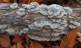 Fungi  Tunk Mt. 11-14-16-pf.jpg