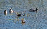 Ducks Beaver Pond City Forest 10-18-17-ed.jpg