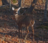 Deer Great Meadow Loop b 11-29-12-ed-pf.jpg