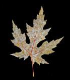 Leaf - Neighborhood 10-31-12 V-2 -pf.jpg