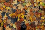 Leaves  - Walden b  10-15-11.jpg