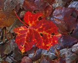 Leaf Mariaville Falls 10-27-17.jpg