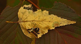 Leaves  - Walden c 10-19-11-ed.jpg