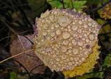 Leaves  - Walden c 10-14-11-ed.jpg