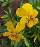 Violets Gails 11-3-17.jpg
