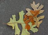 Leaves - Bangor 10-27-12.jpg