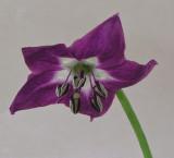Rocoto-Brown flower b 7-23-08-pf.jpg