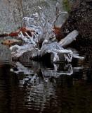 Stump Ducktail  Pond 12-8-15-ed-pf.jpg
