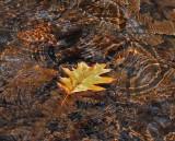 Leaf in Stream Breakneck Rd. 11-3-12-crop -pf.jpg