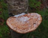 Fungus Perch Pond Trails b 11-16-17.jpg