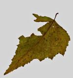 Leaf - City Forest 11-5-14-ed.jpg