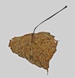 Leaf  Walden   2-25-12-ed.jpg