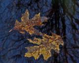 Leaves  Walden 4-4-12-ed.jpg