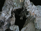 Stump -  Sears Island 6-17-11.jpg