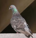 Pigeon - Bangor 7-24-11_ed.jpg