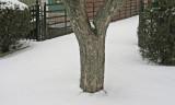 Tree Trunk Bangor 3-3-12-ed.jpg